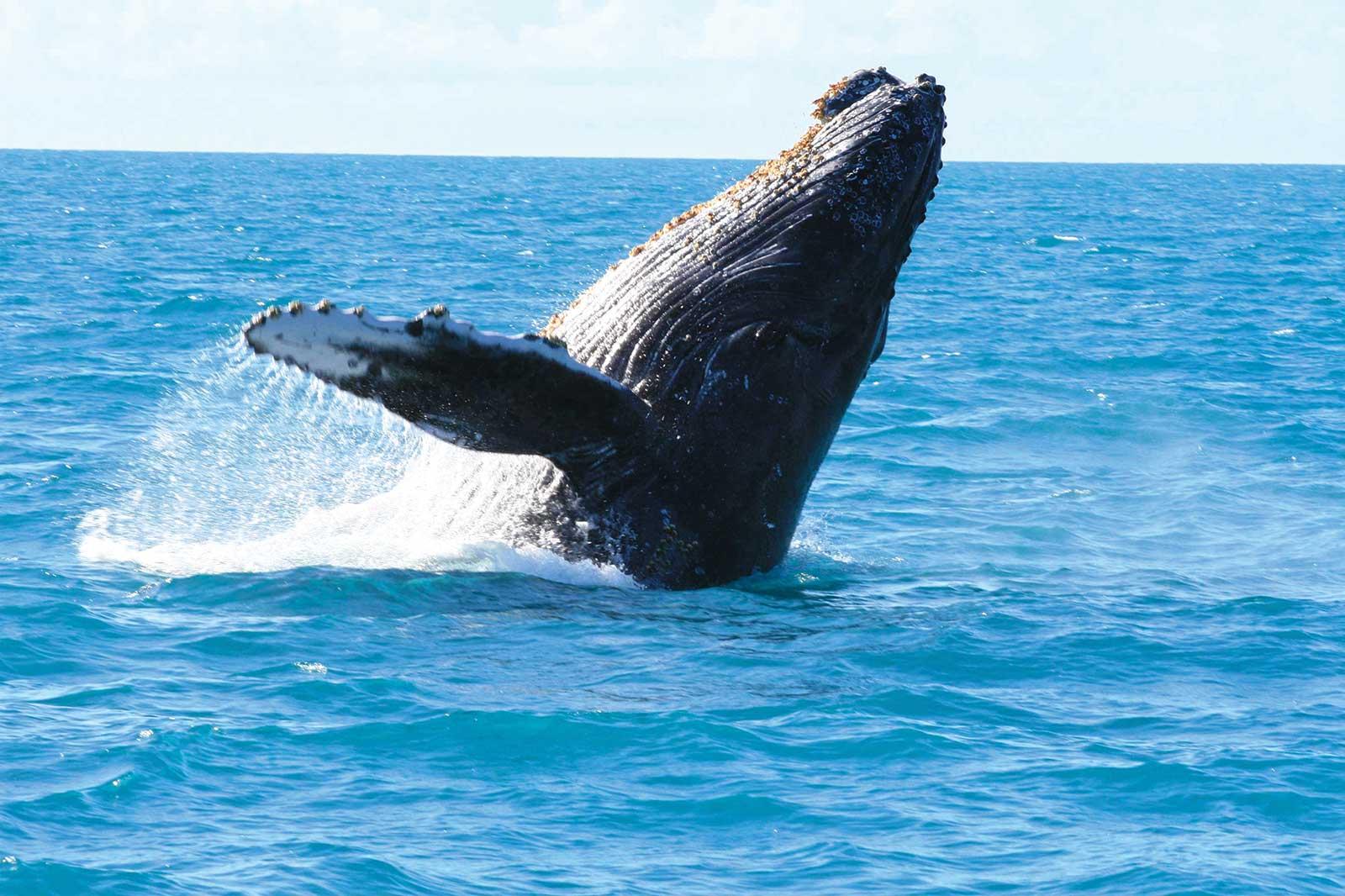Observer les baleines et les dauphins dans leur habitat naturel accompagné par des experts locaux de juillet à septembre, période de migration de ces cétacés