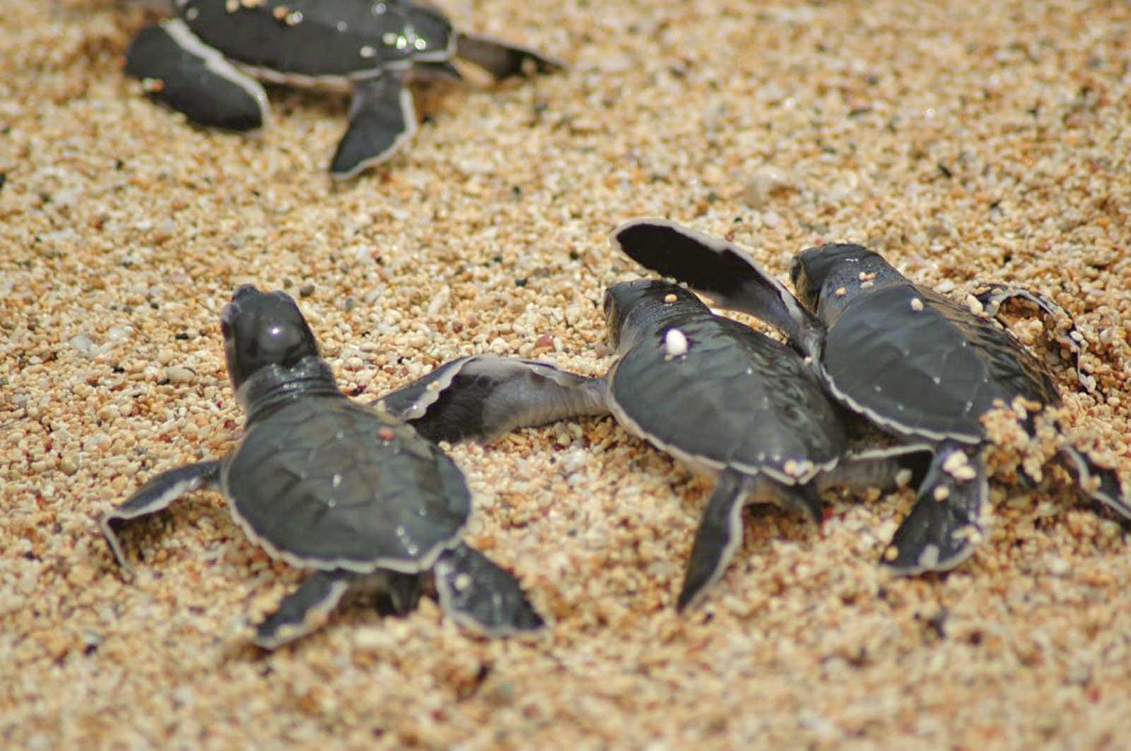 Sortie nocturne pour aller à l'encontre des tortues et de surveiller la ponte sur les plages de l'île de Principe entre septembre et avril